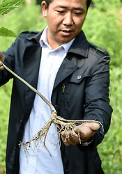Zhu Guilin, a villager, looks over a ginseng at Yulin Village in Ji'an, northeast China's Jilin Province, June 11, 2015. China has a long history of cultivating ginseng, which is considered to be nutritious and to have medicinal value in traditional Chinese medicine. Considered as the world's largest ginseng production area, Jilin produces about 85 percent of China's total ginseng output and 70 percent of the world's output. More than 98 percent of ginseng in Jilin is currently cultivated, not grown in the wild. EXPA Pictures © 2015, PhotoCredit: EXPA/ Photoshot/ Wang Haofei<br /> <br /> *****ATTENTION - for AUT, SLO, CRO, SRB, BIH, MAZ only*****
