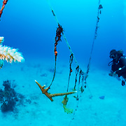 Marine biologist Tanya Kamerman monitors her ongoing project of growing corals (Acropora cervicornis) in an open-ocean coral nursery for future reef transplanting. As coral reefs decline worldwide scientists are looking for the best ways to help save our reefs.