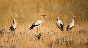 White Stork (Ciconia ciconia) foraging for food in a field. White storks are very large wading birds that feed on fish, frogs and insects, as well as small reptiles, rodents and smaller birds. They migrate annually from Europe to Sub-Saharan Africa. Photographed in Israel, in August