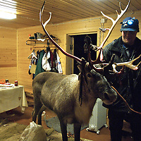 Awakening his drunken friend, Uule Sara, 35, coaxes his 7 year old reindeer into his cabin.  Very few herdsmen can subsist solely with their reindeer and this reindeer is used for the tourism trade, specifically sledge pulling..