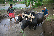 A farmer is plowing a rice paddy on a terrace above the river in Dhading to get it ready to plant rice the traditional way using boffalos and a plow. Most farming in Nepal is done this way with hardly any machanised aid to be found anywhere in the country.
