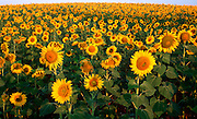 SPAIN, LA MANCHA, AGRICULTURE rows of sunflowers blooming in a vast  field in the Spanish landscape