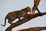 Leopard (Panthera pardus), Khwai Concession, Okavango Delta, Botswana.