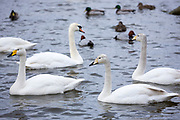 Group of Whooper Swan, Cygnus cygnus and Mute Swan, Cygnus olor, at Welney Wetland Centre, Norfolk, UK