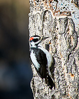 Hairy Woodpecker. Rocky Mountain National Park. Image taken with a Nikon D300  camera and 80-400 mm VR lens