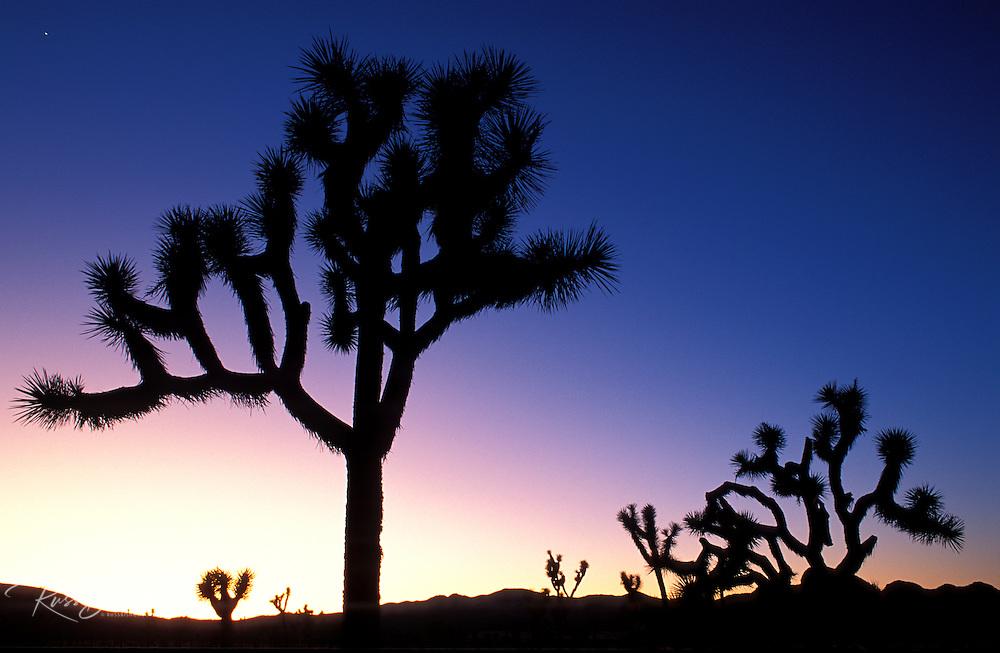 Silhouetted Joshua Trees (Yucca brevifolia) at dusk, Joshua Tree National Park, California