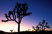 Silhouetted Joshua Trees (Yucca brevifolia) at dusk, Joshua Tree National Park, California