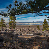 Jeffrey Pines (Pinus jeffreyi) grow along the semi-arid shores of Mono Lake in the eastern Sierra Nevada of California.