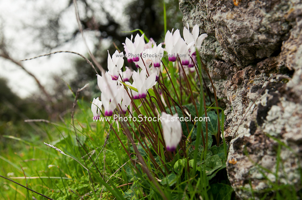 Persian Violets (Cyclamen persicum), Photographed in Israel in February