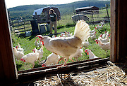 Hens who were rescued from a chicken factory makes themselves at home at the Farm Sanctuary in Watkins Glen, NY,Thursday, Sept. 5, 2013. <br /> (Heather Ainsworth for The New York Times)