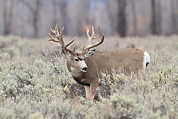 Trophy Nontypical Mule Deer Buck<br /> <br /> The story of this huge buck<br /> A trophy buck ~ through the years.<br /> http://daryl-hunter.net/a-trophy-buck-through-the-years