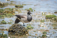 A brant rests at low tide on the shore Of Round Cove, Harwich.