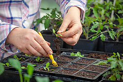 Pricking out salpiglossis seedlings into plastic module trays using a dibber