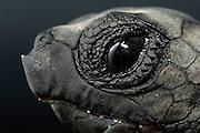 A hatchling Loggerhead Sea Turtle (Caretta caretta) has a sharp tip below the nostrils to help pipping through the paper-like egg shell. | Unechte Karettschildkröte (Caretta caretta)