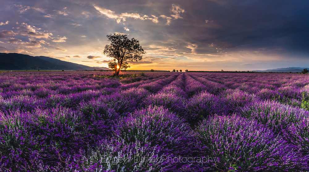 Amazing lavender field in Thracian valley