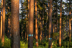 Stock photo of a forest of trees