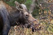 Alaskan moose cow browsing on alder leaves