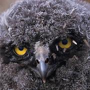 Snowy Owl, (Nyctea scandiaca) Close up of downy chick with mosquitos around eyes. Barrow, Alaska.