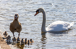 Licensed to London News Pictures. 20/04/2021. London, UK. A goose and its goslings go for a swim in the Serpentine in Hyde Park London this morning as a swan looks on as the warm weather continues a week after the easing of Covid-19 restrictions. A mini heatwave has hit the UK this week with temperatures reaching over 18c in London and the South East yesterday. Photo credit: Alex Lentati/LNP