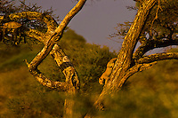 A leopard lounges on a branch (left) as another climbs down the tree (right), Serengeti National Park, Tanzania