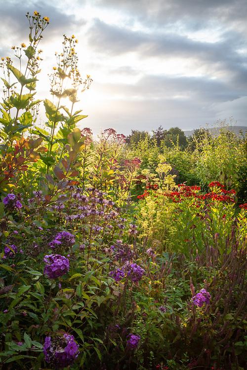 Silphium perfoliatum, Patrinia monandra, Verbena bonariensis, Silphium perfoliatum and Cephalaria dipsacoides, Wildegoose Nursery, Shropshire