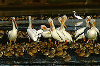 American White Pelicans (Pelecanus erythrorhynchos), Marbled godwits (Limosa fedoa),  and Willets (Catoptrophorus semipalmatus).  Moss Landing, California.  Oct 2002.