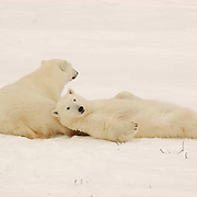 Polar Bear (Ursus maritimus) two bears resting after a play session along the shores of Hudson Bay, near Churchill, Manitoba