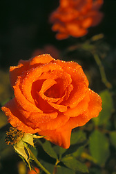 Stock photo of an orange rose covered in condensation