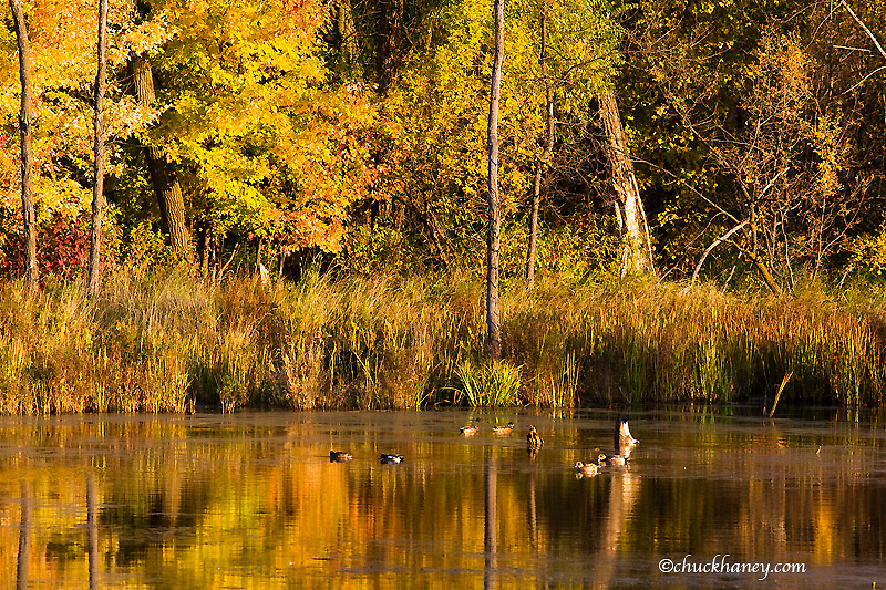 Waterfowl in wetlands pond in autumn at Fort Snelling State Park near Minneapolis Minnesota