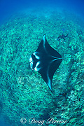 researcher Mark Deakos uses a video camera with laser spotting lights to record the identification pattern (unique pattern of spots on underside) of a reef manta ray, Manta alfredi, Makalawena, Kona, Hawaii ( the Big Island ), Central Pacific Ocean