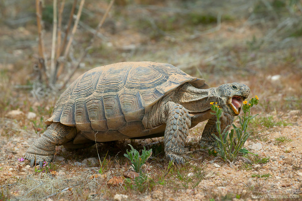 A Desert Tortoise (Gopherus agassizii) makes a rare appearance above ground to munch on wildflowers. Desert tortoises spend roughly nine months a year in burrows 10 feet underground, living off stored moisture from the flowers they consume. This tortoise, approximately 20 years old, is from a preserve in the Mojave Desert near California City, California.