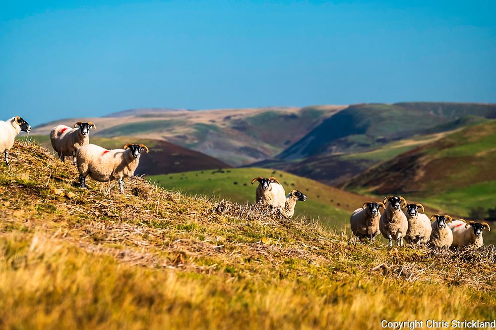 Plenderleith, Jedburgh, Scottish Borders, UK. 10th October 2018. Swaledale sheep gather on Plenderleith Farm on the Scottish side of the Cheviot Hills.
