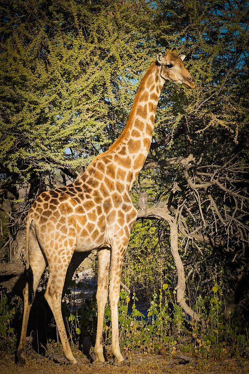 "The giraffe (Giraffa camelopardalis) is an African even-toed ungulate mammal, the tallest living terrestrial animal and the largest ruminant. Its species name refers to its camel-like shape and its leopard-like colouring. Its chief distinguishing characteristics are its extremely long neck and legs, its horn-like ossicones, and its distinctive coat patterns. It is classified under the family Giraffidae, along with its closest extant relative, the okapi. The nine subspecies are distinguished by their coat patterns.<br /> <br /> The giraffe's scattered range extends from Chad in the north to South Africa in the south, and from Niger in the west to Somalia in the east. Giraffes usually inhabit savannahs, grasslands, and open woodlands. Their primary food source is acacia leaves, which they browse at heights most other herbivores cannot reach. Giraffes are preyed on by lions; their young are also targeted by leopards, spotted hyenas, and African wild dogs. Giraffe are gregarious and may gather in large aggregations. Males establish social hierarchies through ""necking"", which are combat bouts where the neck is used as a weapon. Dominant males gain mating access to females, which bear the sole responsibility for raising the young."