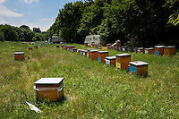 Beehives belonging to travelling bee farmers surrounded by linden trees next to the forest Valea Fagilor close to Macin Mountains National Park. Somewhere between Horia village and Tulcea, Romania.