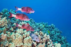 Manybar Goatfish, Parupeneus multifasciatus, moano in Hawaiian, being cleaned by Hawaiian Cleaner Wrasse, Labroides phthirophagus, endemic species, off Kona Coast, Big Island, Hawaii, Pacific Ocean
