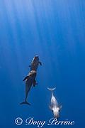 pseudorcas, or false killer whales, Pseudorca crassidens, young females, off the North Kona Coast of Hawaii Island, Hawaiian Islands, U.S.A. ( Central Pacific Ocean )