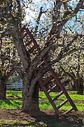 USA, Oregon, Hood River Valley, a ladder in a tree in an orchard.
