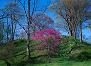 Redbud blooming at base of earthwork mound built by people of the Plum Bayou Culture, Lower Mississippi Valley, Toltec Mounds Archeological State Park, Arkansas.