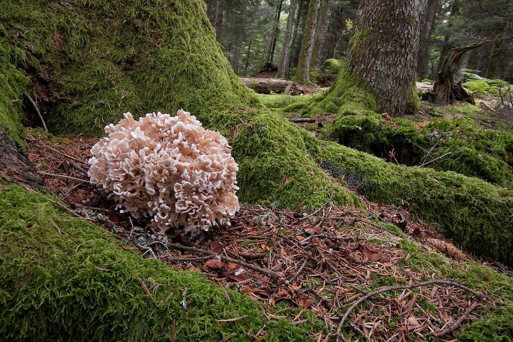 Wood Cauliflower in wood scenery