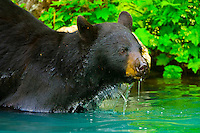 Black bear in a stream, Big River Lakes (near Redoubt Bay Lodge), Cook Inlet, Alaska