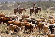 07 MAY  2004 -- WILLIAMS, AZ: Cowboys drive cattle through a pasture on the Willaha Ranch, north of Williams, AZ, May 7, 2004. The ranch is in the high desert country near the south rim of the Grand Canyon. Arizona ranchers are in the midst of a ten year draught that has dramatically reduced the size of their herds. At the same time, public consumption of beef has soared because of the popularity of the Atkins and other high protein diets, so while prices are up, herd yields are down because of the drought. PHOTO BY JACK KURTZ
