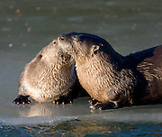 Alaska. Northern River Otter (Lontra canadensis) nozzling another otter on river ice, Seward.