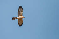 Levant Sparrowhawk - Accipiter brevipes - Male