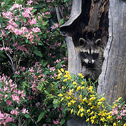 Raccoon, (Procyon lotor) In hollow tree surrounded by wildflowers. Montana. Captive Animal.