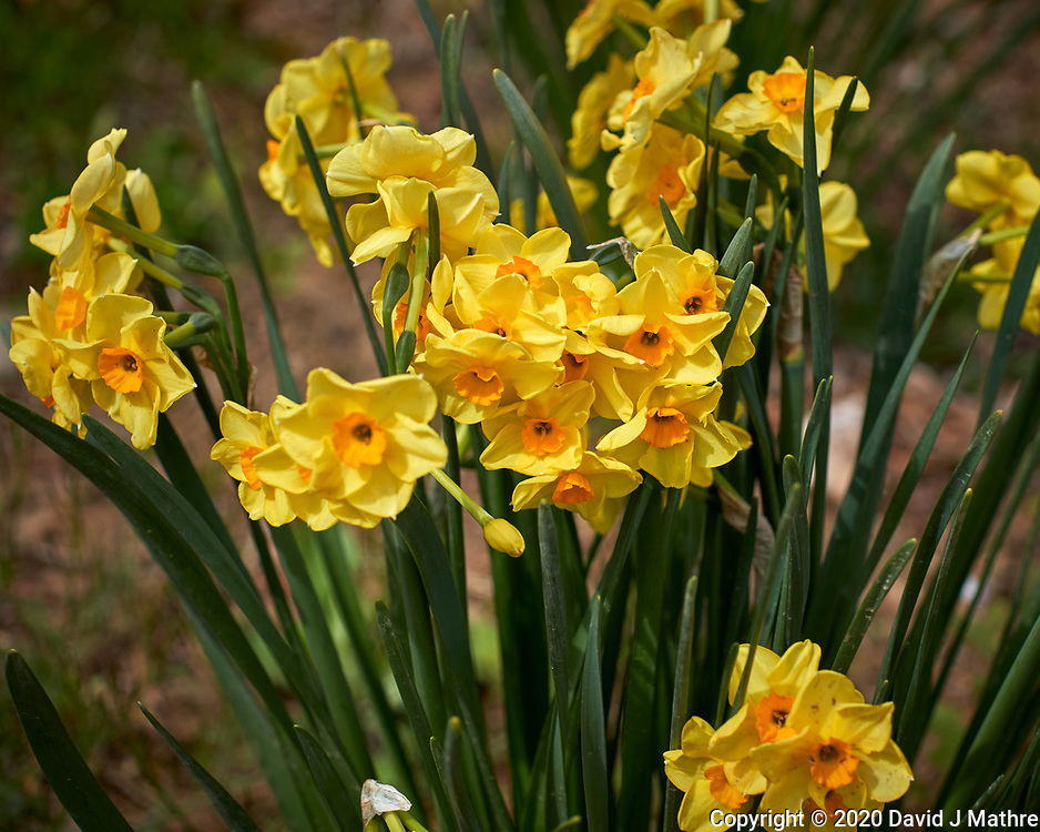 Fancy Daffodil flowers.  Image taken with a Leica CL camera and 60 mm f/2.8 lens (ISO 100, 60 mm, f/4.5, 1/1000 sec).