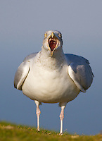 Herring Gull - Larus argentatus - head on view of adult calling with mouth gaping wide, Llandudno, Wales - January