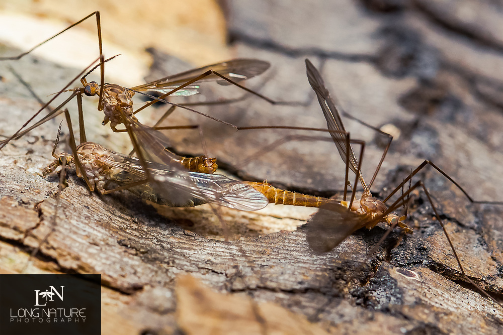 Crane Flies - Tipolomorpha - mating frenzy.  Two males on one female.  Lady Lake, Florida  USA