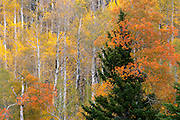 Aspen Embrace, Grand Tetons National Park, Jackson, Wyoming