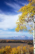 """Buffalo Ridge, Golden Aspen, autumn, sunrise, Grand Teton National Park, Grand Tetons, Jackson Hole, Wyoming<br /> <br /> For production prints or stock photos click the Purchase Print/License Photo Button in upper Right; for Fine Art """"Custom Prints"""" contact Daryl - 208-709-3250 or dh@greater-yellowstone.com"""