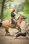 Gaucho riding on horseback and dog, Estancia Huechahue, Patagonia, Argentina, South America